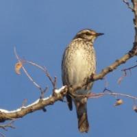 雪景色に歌う?、冬小鳥?