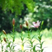 万博公園の百合の花