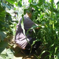 ミニコーンの収穫