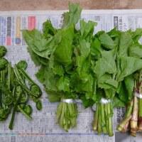 山菜採り        2017.5