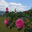 ♪ 春日野園のバラが見ごろです ♪