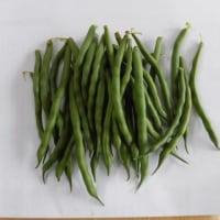 インゲン豆の初収穫!!