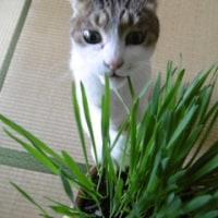 新しいネコ草発見