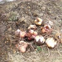 ユリの球根植えました。