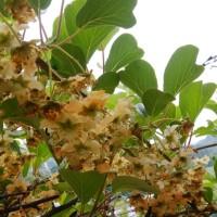 キウイの花がたくさん咲いた♪