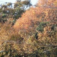 我が家の近くでピンポイント紅葉がありました