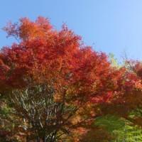 於大公園の花 : イロハモミジ紅葉 ・・・ 今週は晴天が続きますが水曜日から真冬の寒さになります。