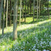 感動の花絶景・シャガの森  ~「茨城県フラワーパーク」にて