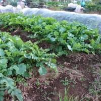 ヒマワリも応援、玉ネギの植え付け準備