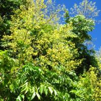 <タイワンモクゲンジ(台湾木欒子> 無数の黄花が目を引く〝金雨の木〟