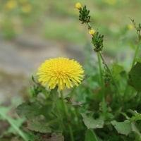 黄色いお花 実は小さな小さな花たちです
