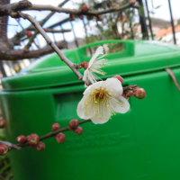 やっと梅の花が・・・