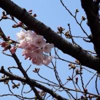 目黒川、中目黒~池尻大橋  ソメイヨシノ開花宣言から4日  2017