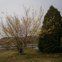 1・アーク牧場 「春の黄金花」咲く