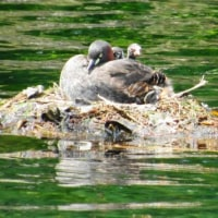その場考学との徘徊(23) 井の頭公園のカイツブリ