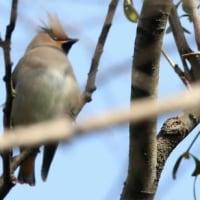 さいたま市桜区の秋ケ瀬公園で、ヒレンジャクをごく短時間ですが観察できました