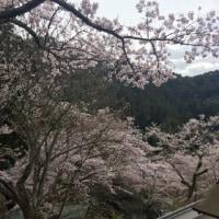 桜霞の奈良県長谷寺