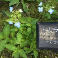 箱根強羅公園 のヤマアジサイ、ガクアジサイ、麻央ちゃん逝く