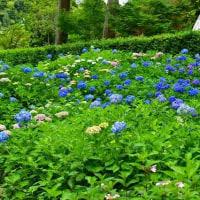 京都・三室戸寺の紫陽花・・・9