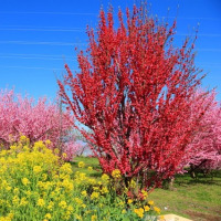 桃の花咲く御坂