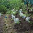 タラ芽の苗植える