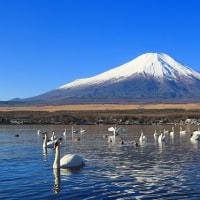 山中湖と白鳥