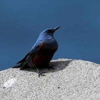 昨日の鳥 イソヒヨドリ メスは不在でオスは3羽程居ました