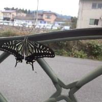 10月6日アゲハチョウ2匹羽化