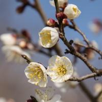白梅・「雪月花」 が 開花していました