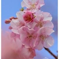 河津桜 15