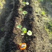 かぼちゃ:家庭菜園