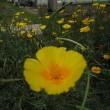 散歩で見た花。(ガザニア タイマツバナ ギボウシ ハナビシソウ アベリア他)