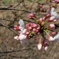 マンションの桜も咲き始めました~♪