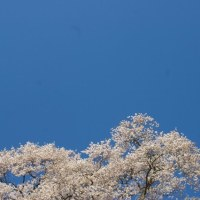 福島県川俣町、秋山の駒ザクラです!!