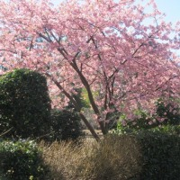 玉縄桜、おかめ桜&最後の翡翠蔓 大船フラワーセンター