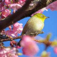 青空は桜色~メジロ~