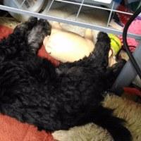 トイプードル 子犬 クリーム&ホワイト パーティーカラーとブラック の紹介(長野県)