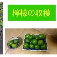檸檬の収穫
