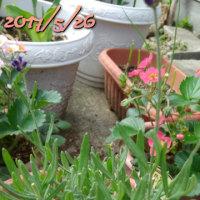トマトを待つ間は庭の花に癒される