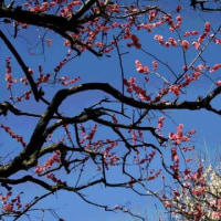花~紅白梅&椿&ニオイザクラ