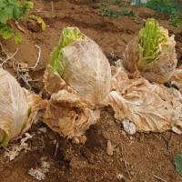 野菜は春           結球白菜から花芽