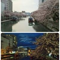 桜の朝と晩♪