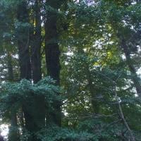 千葉県市原市、金剛地熊野神社の大銀杏です!!