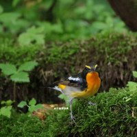 野鳥観察 キビタキ雄