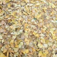 街路樹の 落葉
