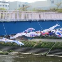 柏尾川に泳ぐ鯉のぼり