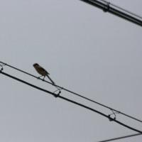 б スズメより小さい野鳥、コヨシキリの姿、ドキドキ眺め б (岐阜県美濃地方)