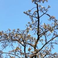 静岡のソメイヨシノの開花日は・・・