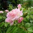 薔薇の消毒