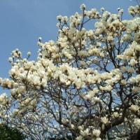 寒緋桜・木蓮・菜の花